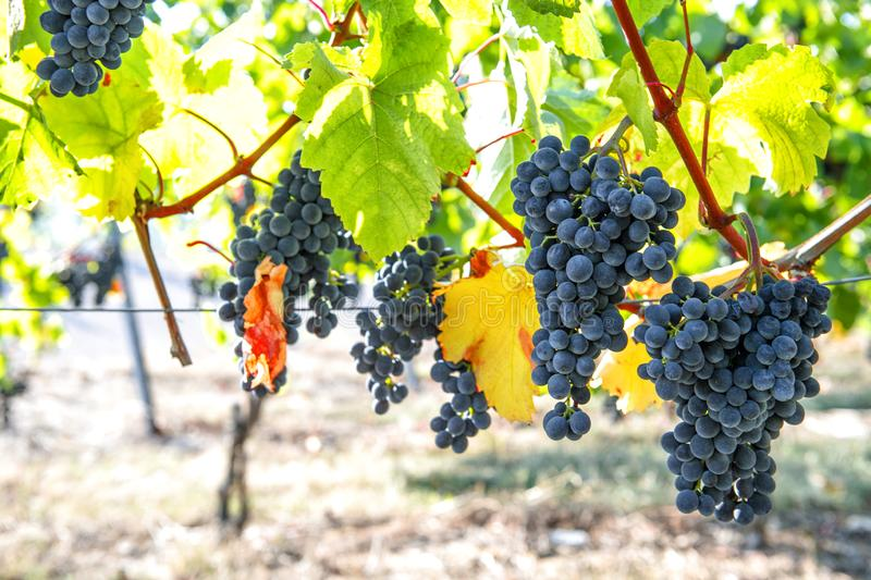 Red grapes green yellow leaves Autumn landscape vibrant colors royalty free stock photo
