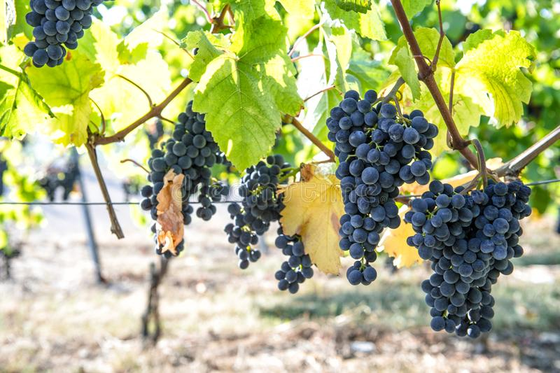 Red grapes green yellow leaves vine Autumn landscape royalty free stock image