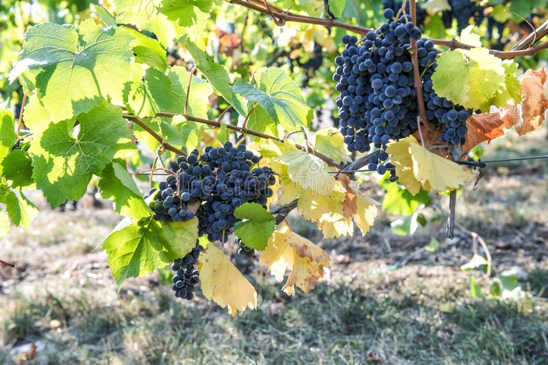 Red grapes green yellow leaves vine Autumn landscape royalty free stock photos