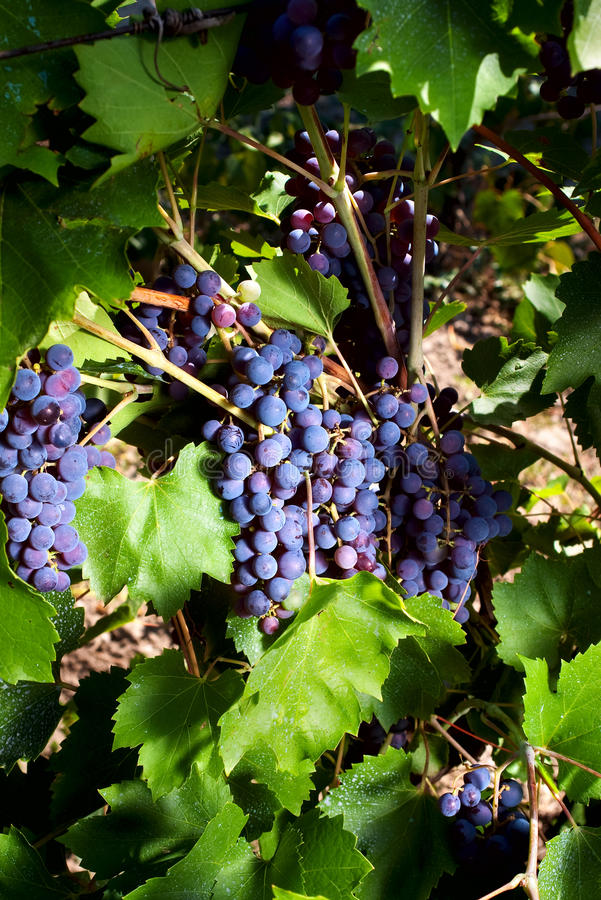 Download Red grapes growing stock photo. Image of branch, vine - 10664590