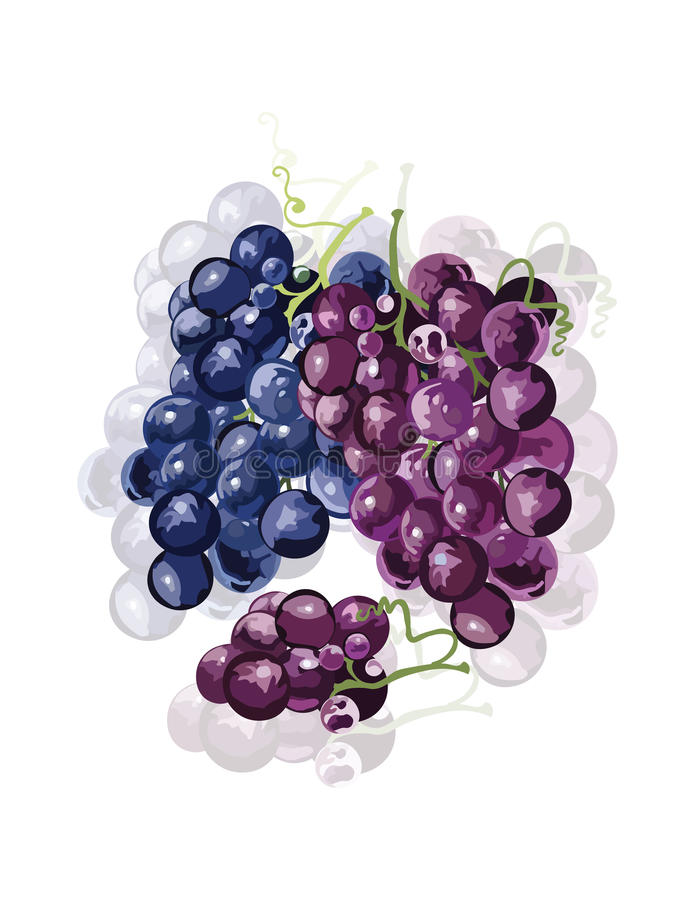 Red Grapes isolated. Vector. Wine theme for book or cards cover. Wine texture illustration watercolor style stock illustration