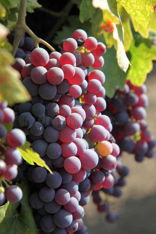 Free Red Grapes On The Vine Royalty Free Stock Image - 11030306