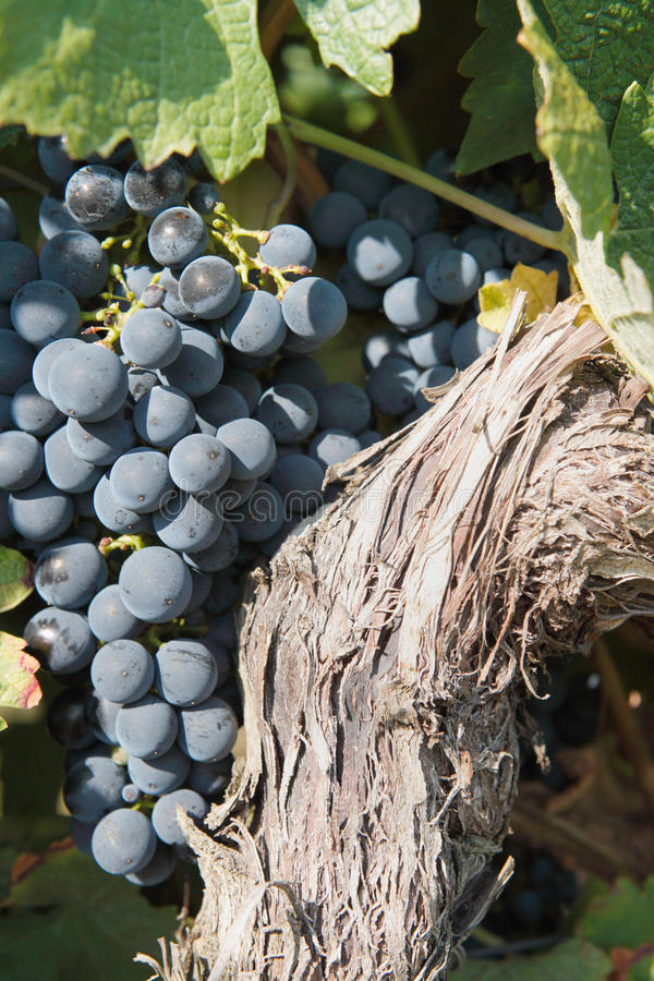 Free Red Grapes On The Vine Royalty Free Stock Images - 11162589