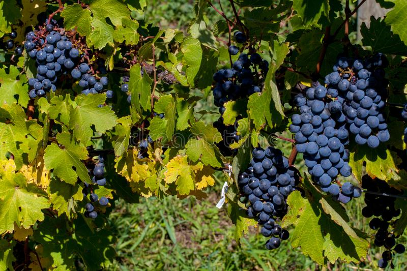 Red Grapes Ready for Harvest. Grapes are plump on the vine, ready for harvest at one of New York`s Finger Lakes vineyards royalty free stock image