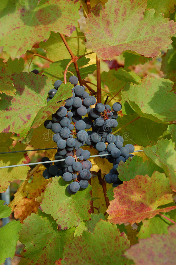 Red grapes in a vineyard stock photography