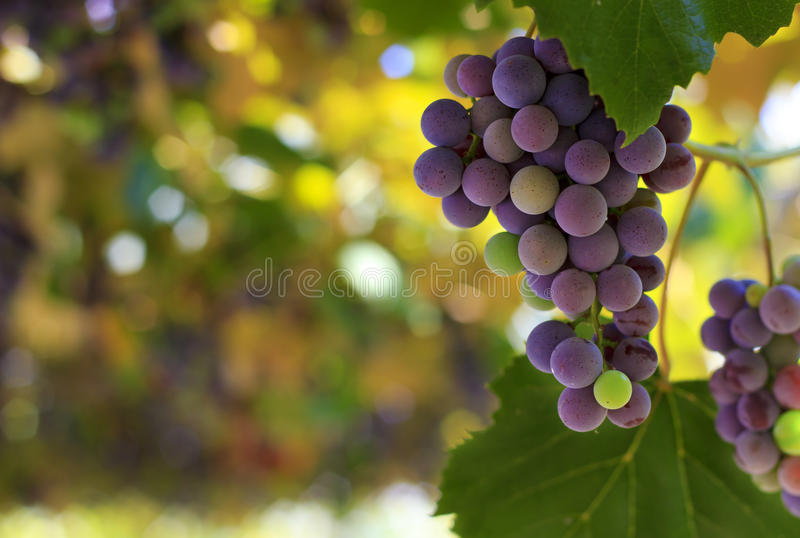 Download Red grapes in the vineyard stock image. Image of autumn - 26644679