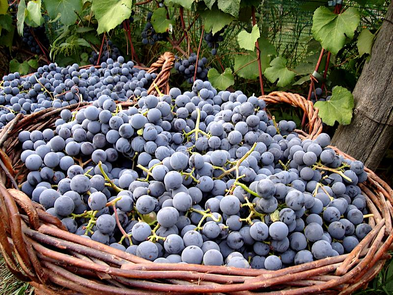 Ripe black grapes in large baskets harvested for the preparation of red wine. Closeup. Large baskets with fresh and tasty black grapes harvested in the autumn stock photos