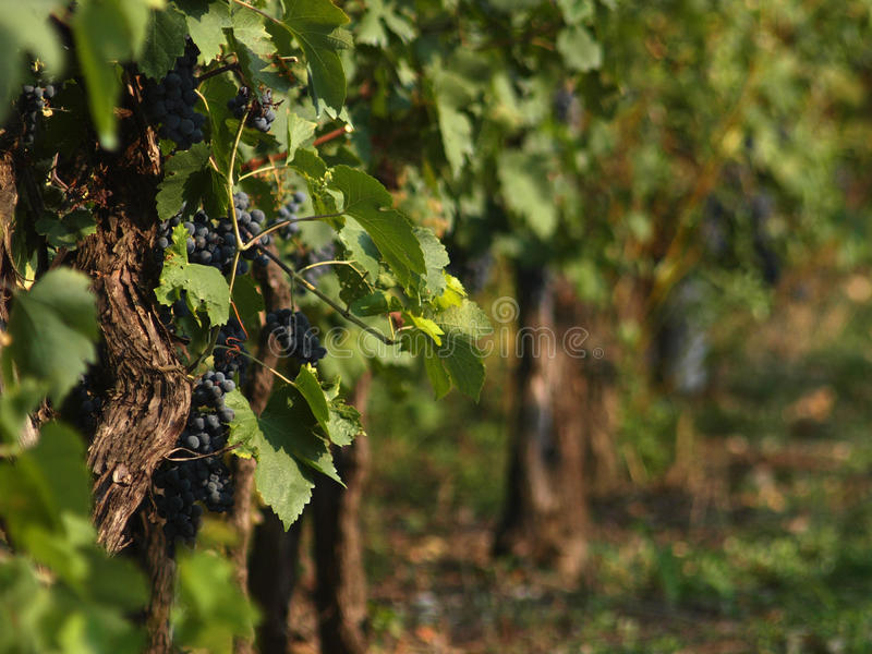 Red Grappes on vines stock photos