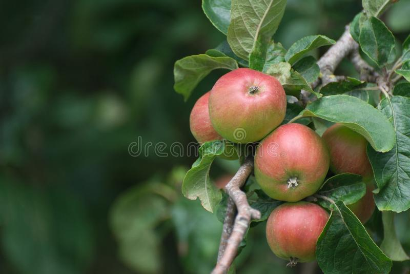 Red and green apples on an apple tree. Red and green english apples on a fruit tree in an apple orchard in the UK royalty free stock photo