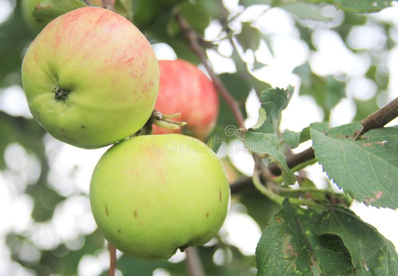 Red-green apples on a tree in rural orchard stock photos