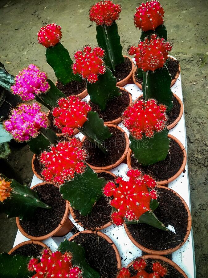 Red green cactus type plannt royalty free stock photos