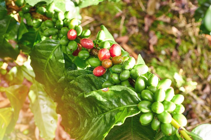 Red and green coffee berries. On tree branch close up view stock photo