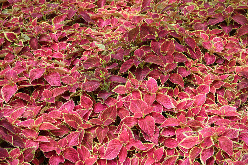 Red Green Coleus Blumei Plant Royalty Free Stock Photo