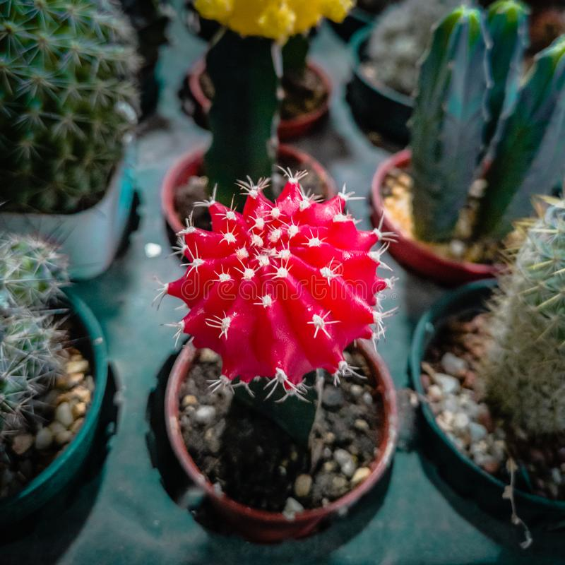 Red and green colors of different succulents and cactus in pots and tray garden royalty free stock photos