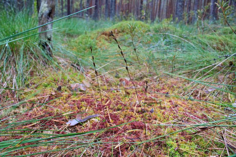 Red moss in the forest. Red and green moss in the autumn forest. The beauty of the northern forest. Various forms of vegetation. Wonders of nature. What you can royalty free stock image