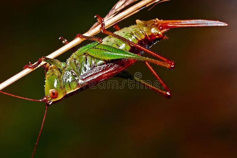 Red And Green Grasshopper Free Public Domain Cc0 Image