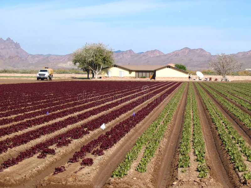 Download Red and green lettuce crop stock image. Image of irrigation - 542781