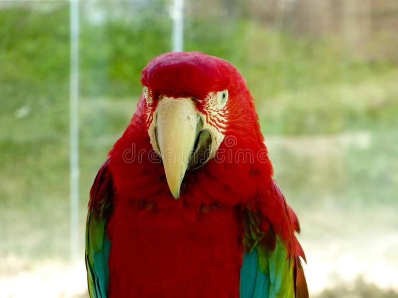A Red-and-green Macaw royalty free stock photos