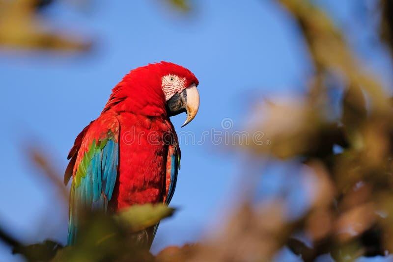 Red And Green Macaw, Ara Chloropterus, Buraco Das Araras, near Bonito, Pantanal, Brazil. Red And Green Macaw, Ara Chloropterus, Buraco Das Araras, near Jardim stock photography