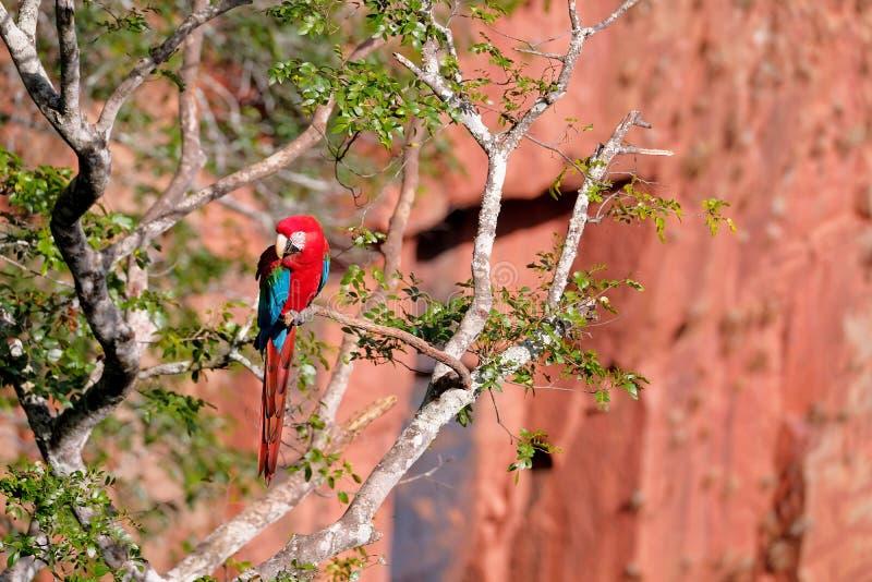 Red And Green Macaw, Ara Chloropterus, Buraco Das Araras, near Bonito, Pantanal, Brazil. Red And Green Macaw, Ara Chloropterus, Buraco Das Araras, near Jardim royalty free stock photography