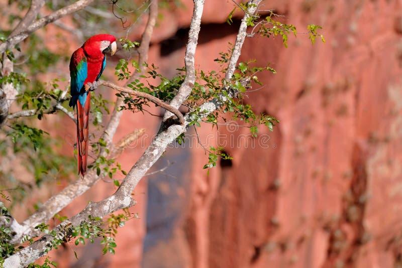 Red And Green Macaw, Ara Chloropterus, Buraco Das Araras, near Bonito, Pantanal, Brazil. Red And Green Macaw, Ara Chloropterus, Buraco Das Araras, near Jardim royalty free stock photos