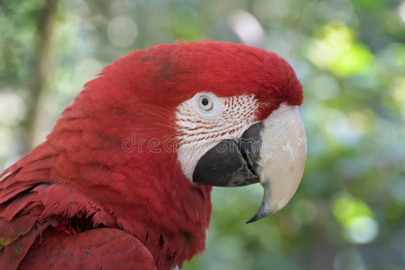 Red-and-green macaw  portrait stock images