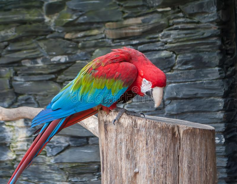 Red-and-green macaw, Ara chloropterus, beautiful parrot sitting on a branch with bowed head. Red-and-green macaw, Ara chloropterus, parrot sitting on a branch stock photo