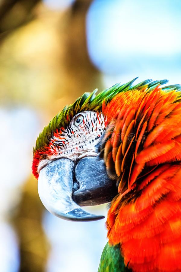 Red-and-green macaw, ara chloropterus. In the sun stock photography