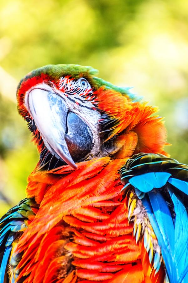 Red-and-green macaw, ara chloropterus. In the sun royalty free stock photos