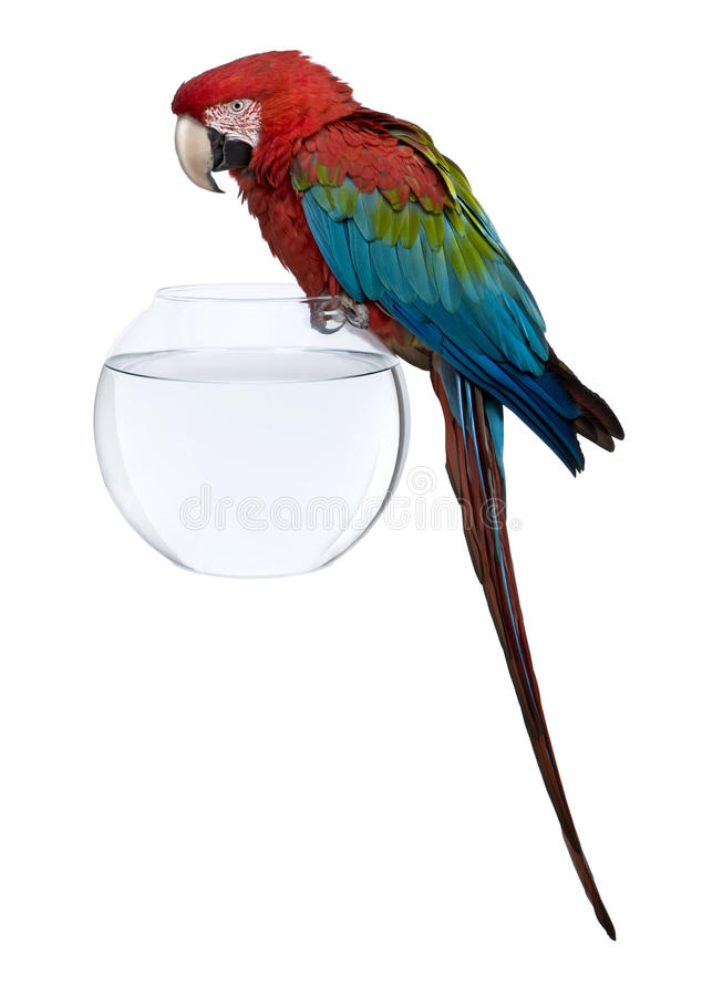 Download Red-and-green Macaw Perching On Empty Fish Bowl Stock Image - Image: 14847449