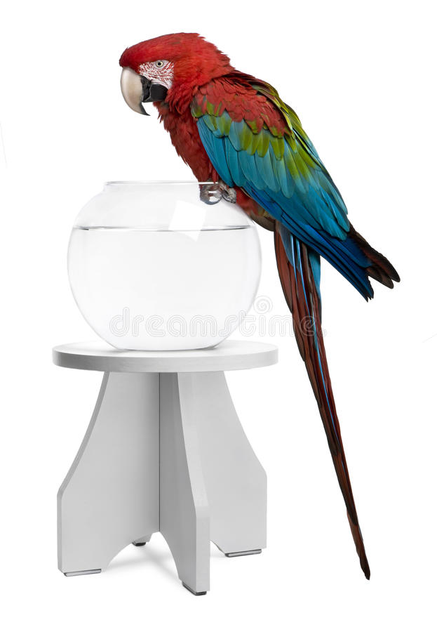 Download Red-and-green Macaw Perching On Empty Fish Bowl Stock Photo - Image: 14885922