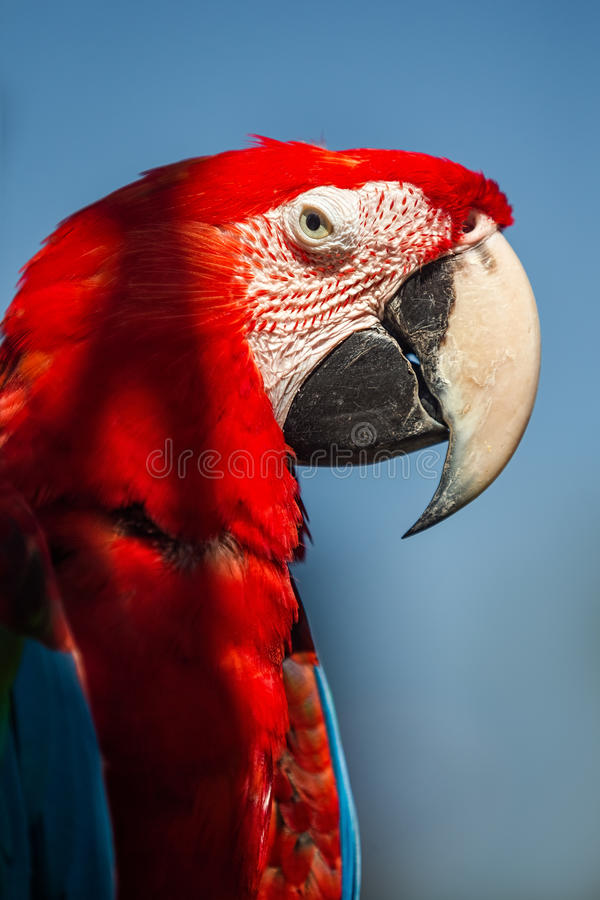 Red-and-green macaw. Sitting on branch over blue sky royalty free stock photos