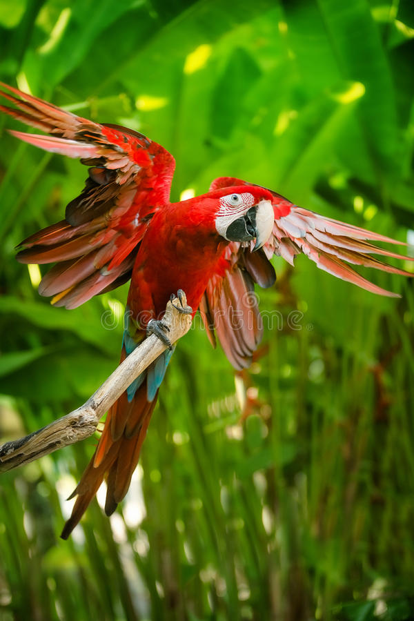 Red-and-green macaw. Sitting on branch over blue sky royalty free stock images