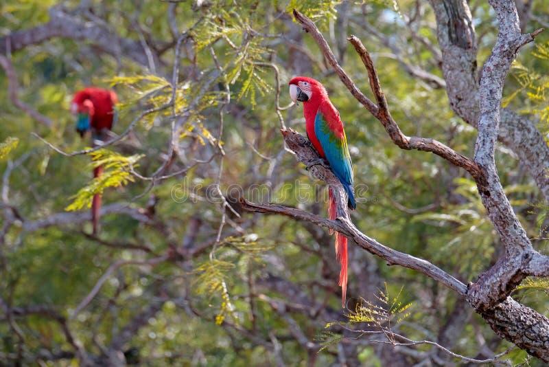Red And Green Macaws, Ara Chloropterus, Buraco Das Araras, near Bonito, Pantanal, Brazil. Red And Green Macaws, Ara Chloropterus, Buraco Das Araras, near Jardim stock photo
