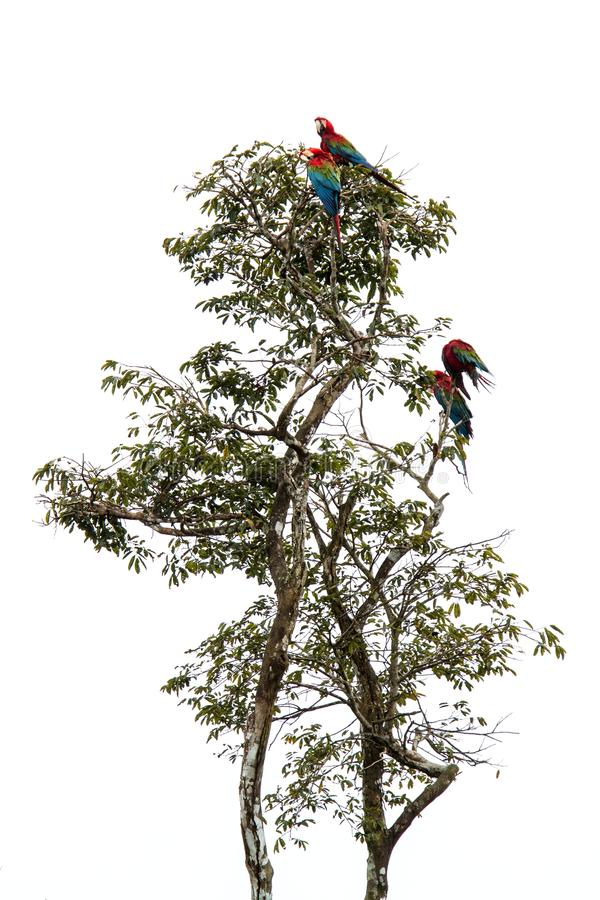 Red-and-green macaws Ara chloropterus grooming its feathers on tree in Manu National Park, Peru, beautiful birds in amazon royalty free stock photography