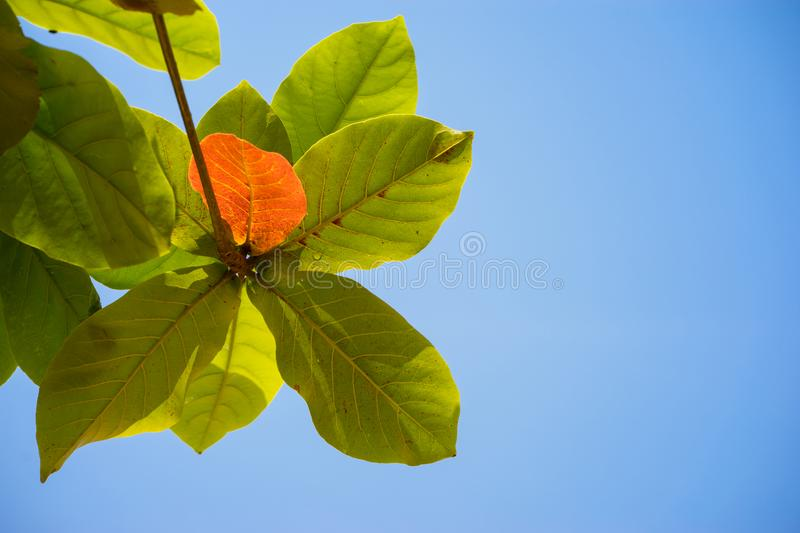 Red and green Malabar almond leaf against blue sky royalty free stock image