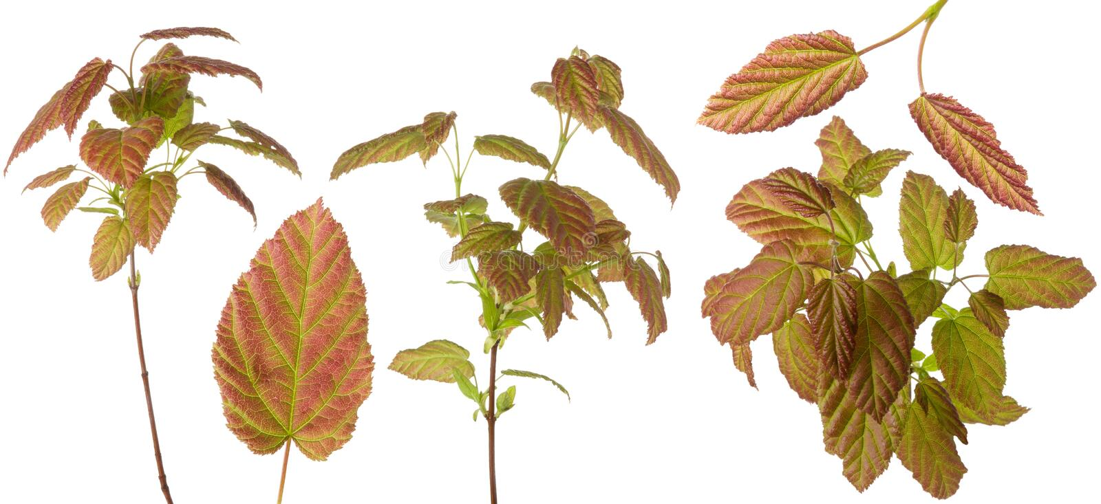 Red green multicolor plant leaves on stem and single leaf set for floral design isolated on white background stock photo