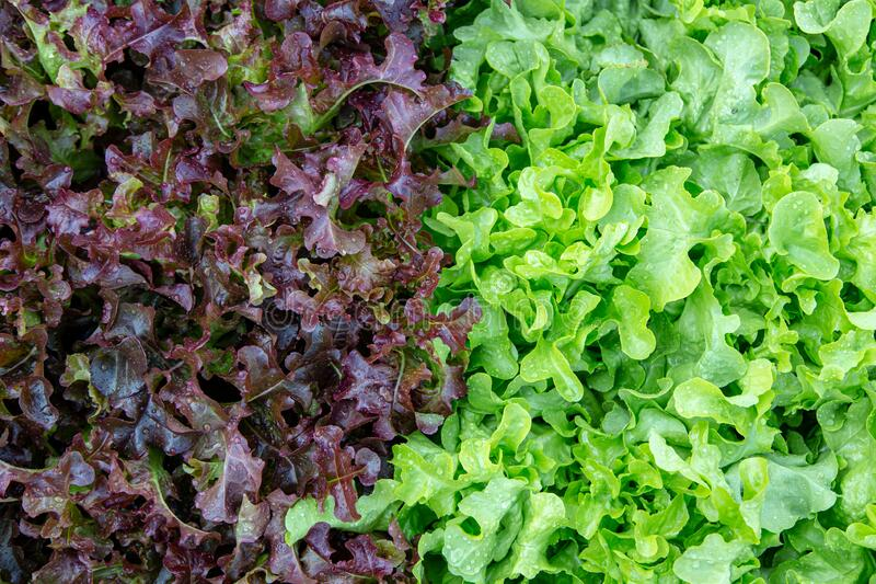 Red and green oak lettuce background. Red and green oak lettuce field in agriculture farm for background royalty free stock photography