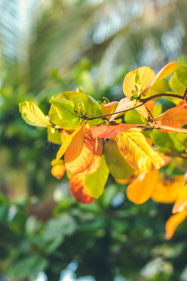 Red, Green Orange Autumn Leaves Background. Tropical leaves background. Bali island, Indonesia. Red, Green Orange Autumn Leaves Background. Tropical leaves royalty free stock images