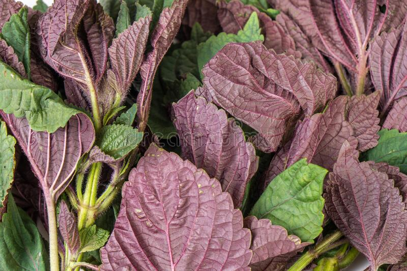 Red and green Organic amaranth leaves, full frame royalty free stock photography