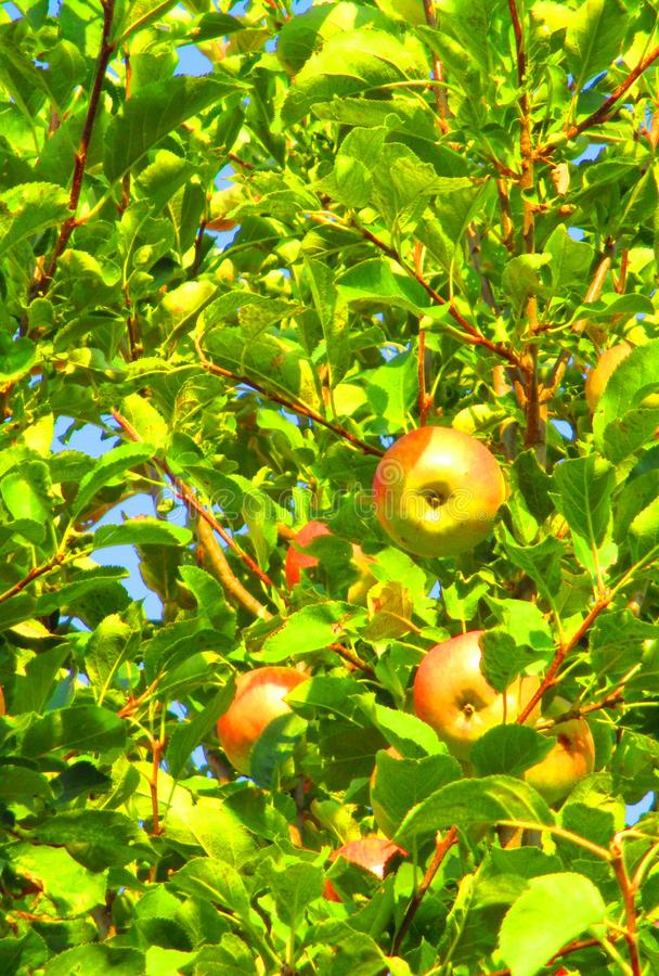 Red and green ripe apples on a branch of an apple tree royalty free stock photography