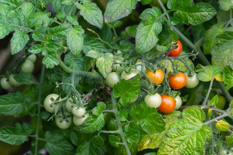 Red and green tomato fruit with plant at the agriculture fields royalty free stock photo