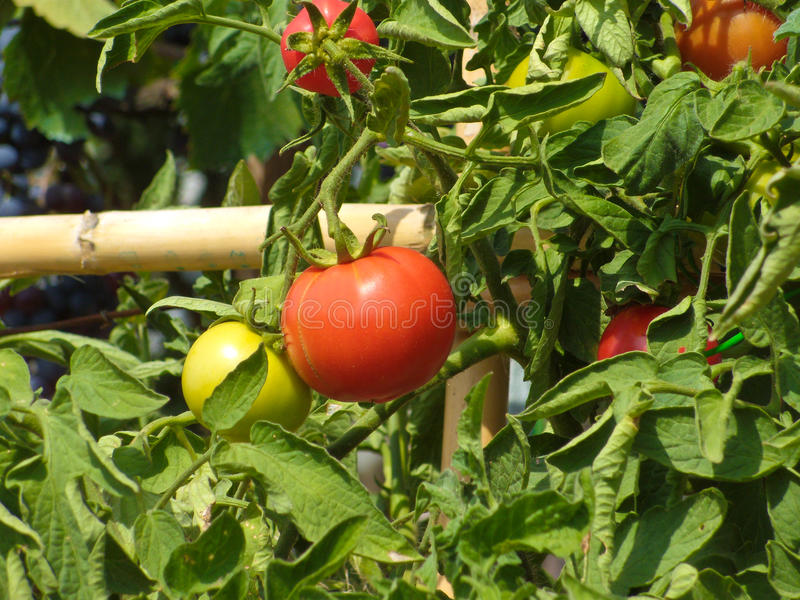 Red and green tomato patch royalty free stock image