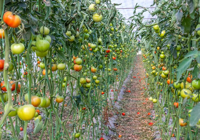 Red and green tomatoes in two lines in the greenhouse royalty free stock photos