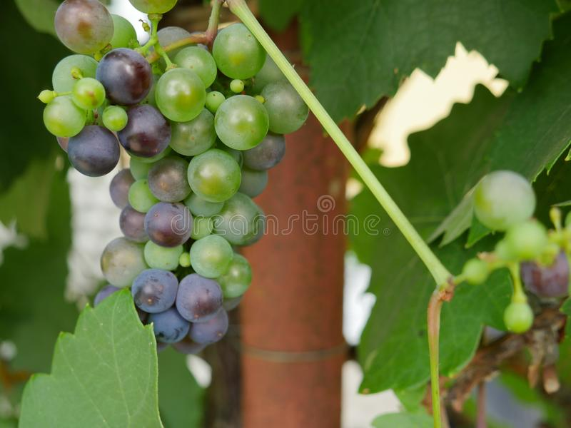Red and green wine grapes closeup. Photography of a closeup of red and green wise grapes. The photography has been taken in natural daylight royalty free stock photos