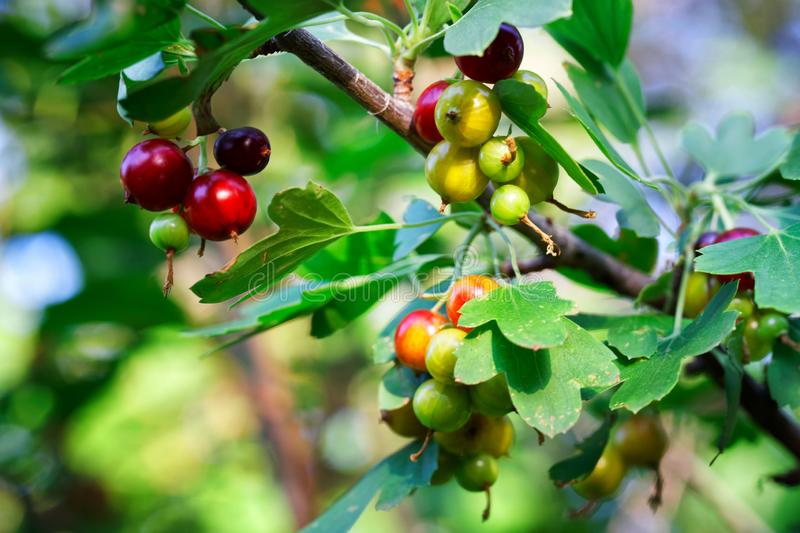 Red and green yoshta berries on a farm in the sun. Hybrid of gooseberry and black currant. Autumn harvest. Shallow depth of field. Daylight stock photography