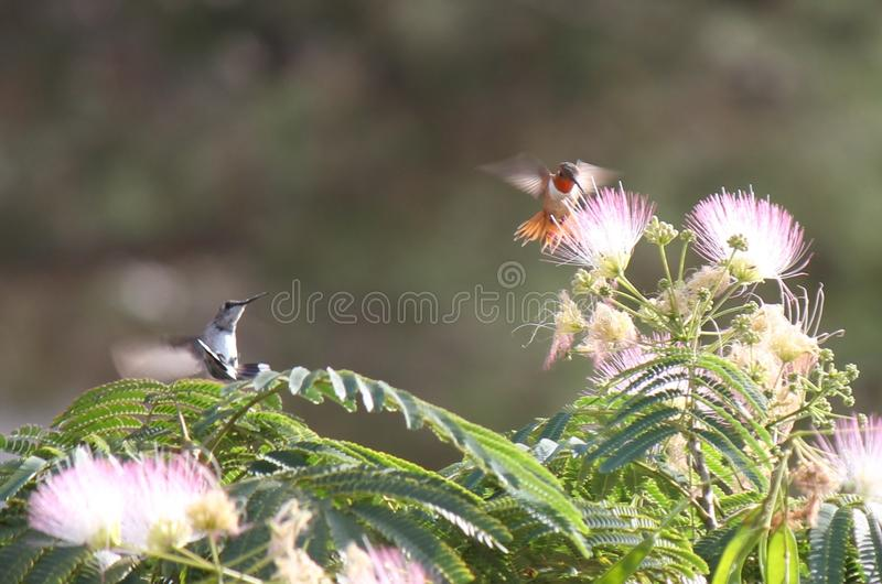 Red and Grey Hovering Humming Bird Moth. Red and Grey Hovering Hummingbird Moth in garden tree stock photography