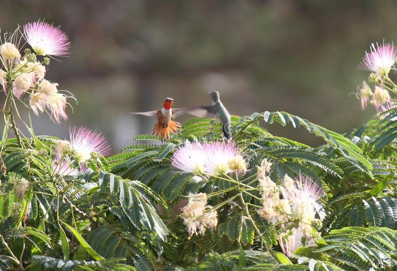 Red and Grey Hovering Humming Bird Moth. Red and Grey hovering Hummingbird on Mimosa tree stock photos