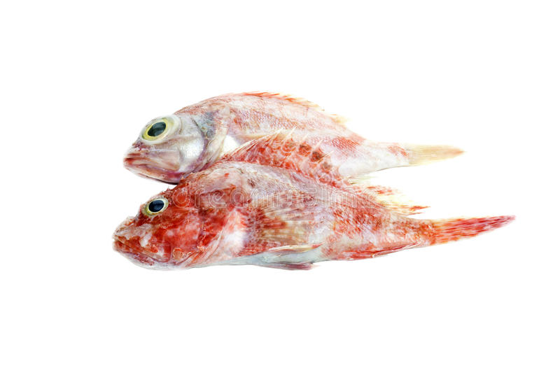 The red grouper. On a white background closeup stock photos