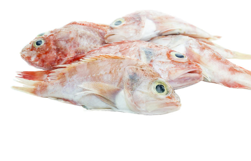The red grouper. On a white background closeup royalty free stock photo
